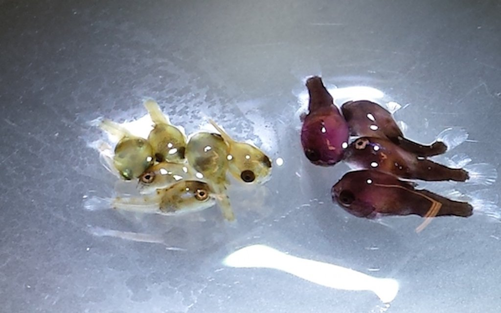 Lumpfish dryfeed (left) vs Cryoplankton (right).jpg
