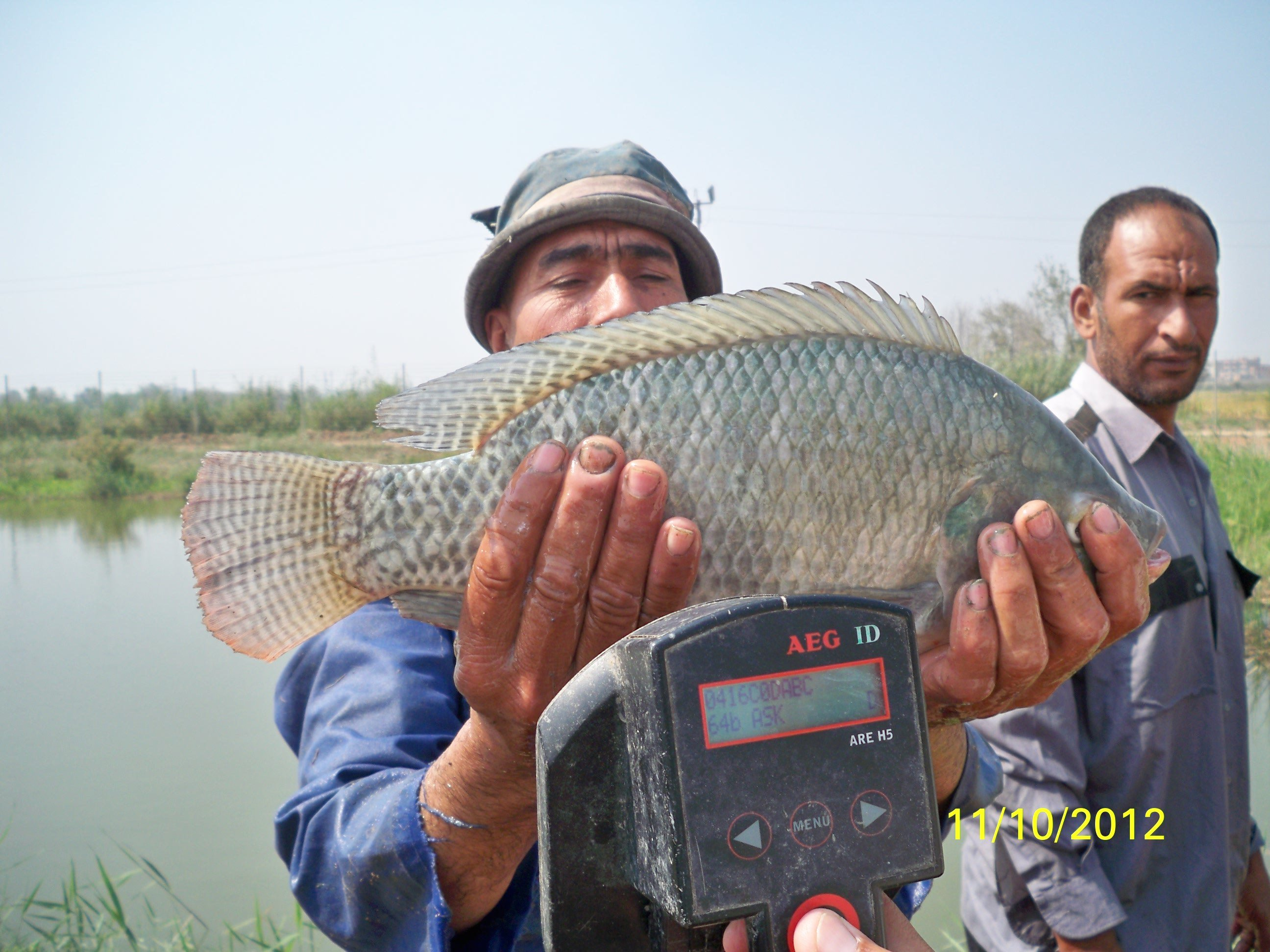 Abbassa improved Nile tilapia