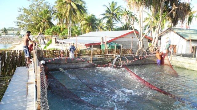 Milkfish in Kiribati