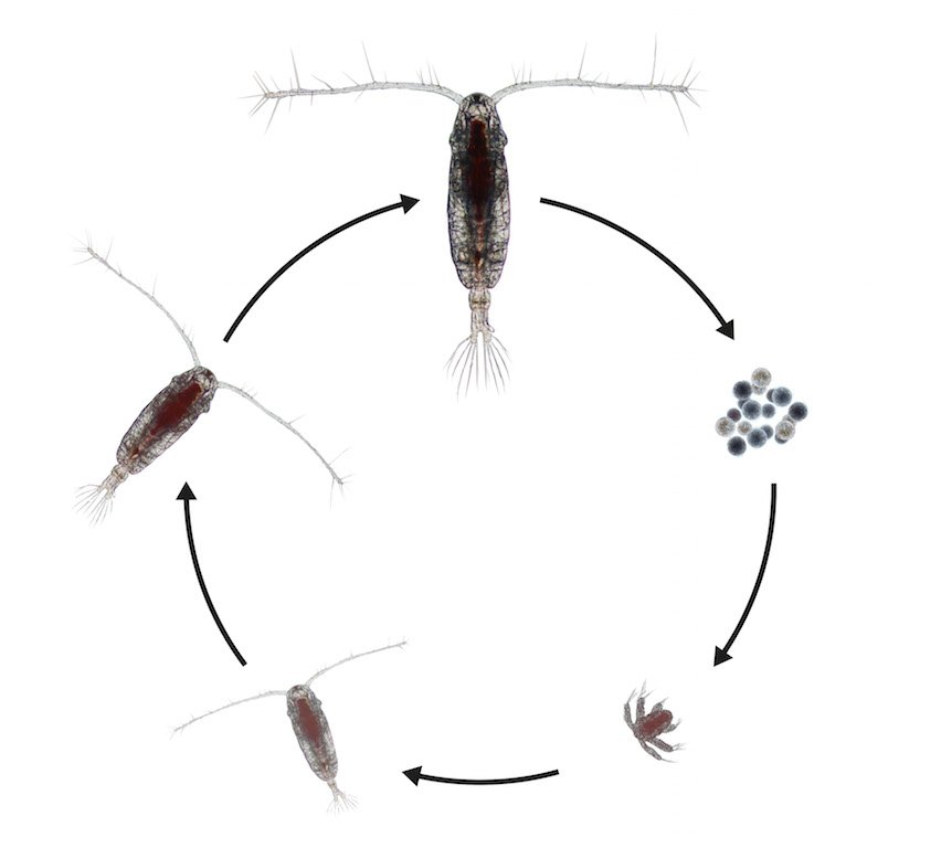 The life cycle of the copepod Acartia tonsa.jpg