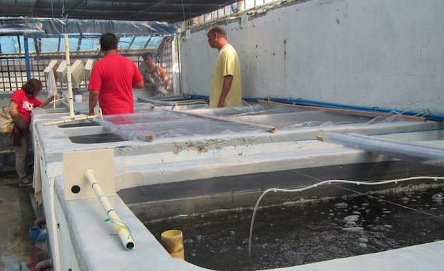Crab hatchery