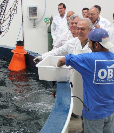 Feeding the brood stock at Baja Seas